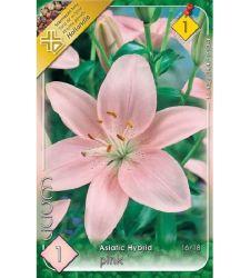 Bulb de crin asiatic - Pink (1 bulb), Holland Park