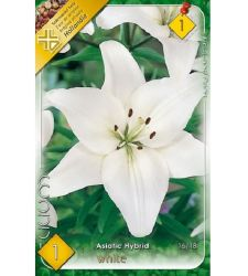 Bulb de crin asiatic - White (1 bulb), Holland Park