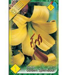 bulbi-de-crini-lilium-trumpet-golden-splendour-1-bulb-holland-park
