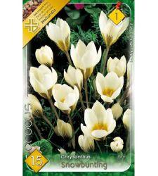 Bulbi de Crocus chrysanthus Snowbunting (15 bulbi), Holland Park