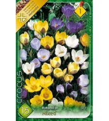 Bulbi de Crocus chrysantus - mix de culori (15 bulbi), Holland Park