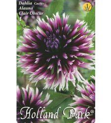 Bulbi de dalii cactus Alauna Clair Obscure (1 bulb), Holland Park