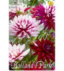 Bulbi de dalii decorative Rebecca's World (1 bulb), Holland Park
