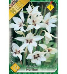 bulbi-de-gladiole-gladiolus-callianthus-10-bulbi-holland-park
