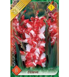 Bulbi de gladiole  Zizanie (8 bulbi), Holland Park