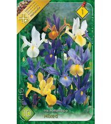 Bulbi de Iris hollandica mix de culori (10 bulbi), Holland Park