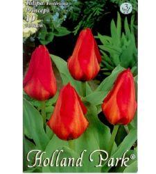 Bulbi de lalele Princeps (10 bulbi), Holland Park