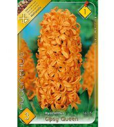 Bulbi de zambile Gipsy Queen (3 bulbi), Holland Park