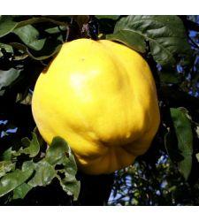 Gutui Bereczki, Ciumbrud Plant