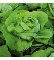 Seminte salata Analena (5.000 seminte), Enza Zaden