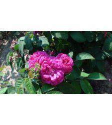 Trandafir de dulceata Rose de Rescht, Ciumbrud Plant