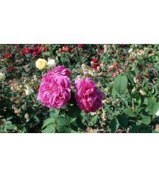 Trandafir de dulceata Sachsengruss, Ciumbrud Plant