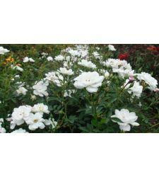 Trandafir de parc (miniroze) Kent, Ciumbrud Plant
