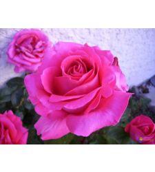Trandafir floribunda Criterion, Ciumbrud Plant