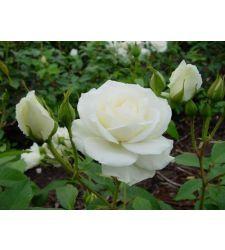 Trandafir floribunda Iceberg White, Ciumbrud Plant