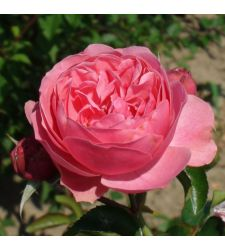 Trandafir floribunda Leonardo da Vinci, Ciumbrud Plant