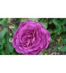 trandafir-floribunda-minerva-ciumbrud-plant