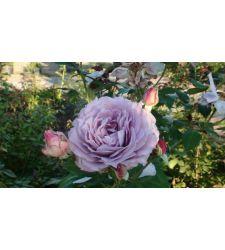 trandafir-floribunda-novalis-ciumbrud-plant