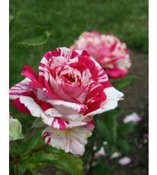Trandafir floribunda Papagena, Ciumbrud Plant