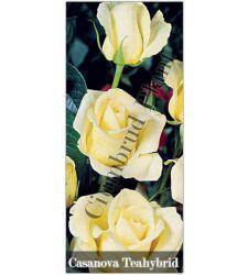 Trandafir teahibrid Casanova, Ciumbrud Plant