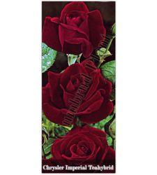 Trandafir teahibrid Chrysler Imperial, Ciumbrud Plant