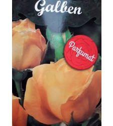 trandafir-teahibrid-galben-ciumbrud-plant