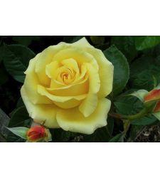 trandafir-teahibrid-glorious-ciumbrud-plant