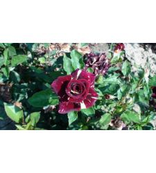 Trandafir teahibrid Hocus Pocus, Ciumbrud Plant