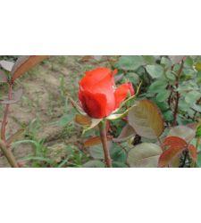 Trandafir teahibrid Holsteinperle, Ciumbrud Plant
