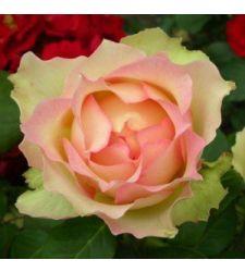 Trandafir teahibrid Jalitah, Ciumbrud Plant