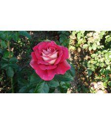 Trandafir teahibrid Kronenbourg, Ciumbrud Plant