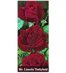 Trandafir teahibrid Mister Lincoln, Ciumbrud Plant