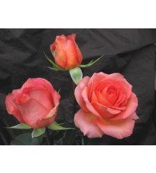 Trandafir teahibrid Mondiale, Ciumbrud Plant