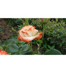 Trandafir teahibrid Printesa Farah, Ciumbrud Plant