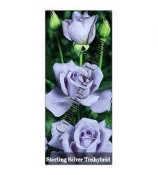 Trandafir teahibrid Sterling Silver, Ciumbrud Plant