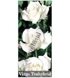 Trandafir teahibrid Virgo, Ciumbrud Plant