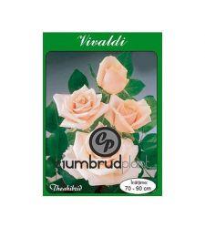 Trandafir teahibrid Vivaldi, Ciumbrud Plant