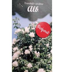 trandafir-urcator-alb-ciumbrud-plant