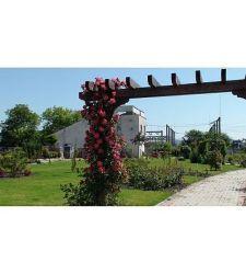 trandafir-urcator-bajazzo-ciumbrud-plant