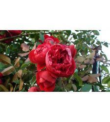 trandafir-urcator-rosu-ciumbrud-plant