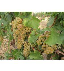 vita-de-vie-alba-de-vin-tamaioasa-romaneasca-ciumbrud-plant