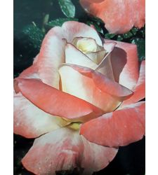 Trandafir floribunda Fiji, Ciumbrud Plant