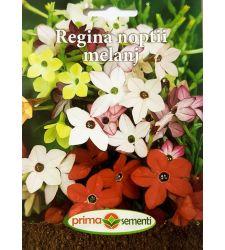seminte-regina-noptii-mix-de-culori-prima-sementi