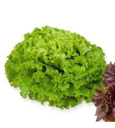 Seminte salata batavia Aficion (5 g), Rijk Zwaan