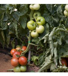 Seminte tomate Abellus F1 (100 seminte), Rijk Zwaan