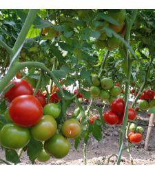 Seminte tomate Alamina F1 (100 seminte), Rijk Zwaan