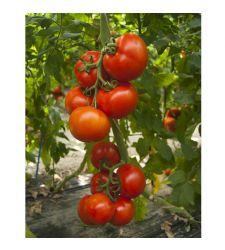 Seminte tomate Attiya F1 (100 seminte), Rijk Zwaan