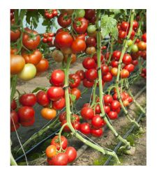 Seminte tomate Doufu F1 (100 seminte), Rijk Zwaan