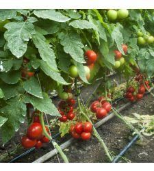 Seminte tomate Lilos F1 (100 seminte), Rijk Zwaan