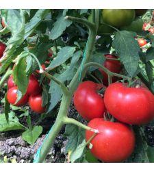 Seminte tomate Vasanta F1 (100 seminte), Rijk Zwaan